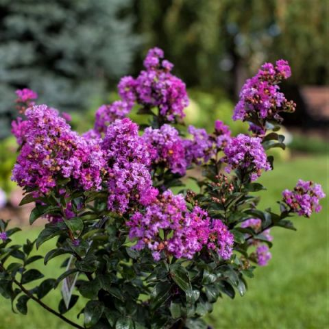 Purple Magic Crape Myrtle