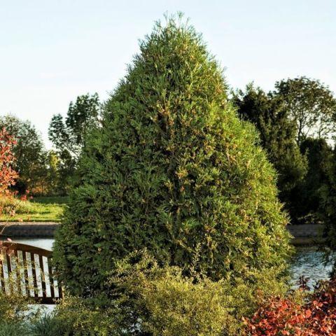 Technito Arborvitae