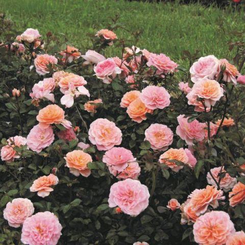 Apricot Drift® Rose