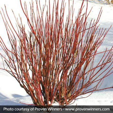 Arctic Fire® Dogwood
