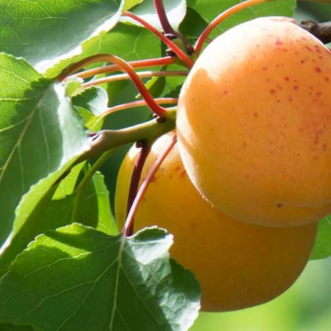 Autumn Glo Apricot Tree