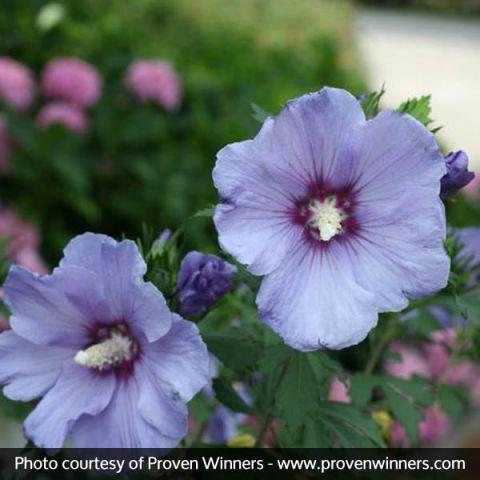 Azurri Blue Satin® Rose of Sharon