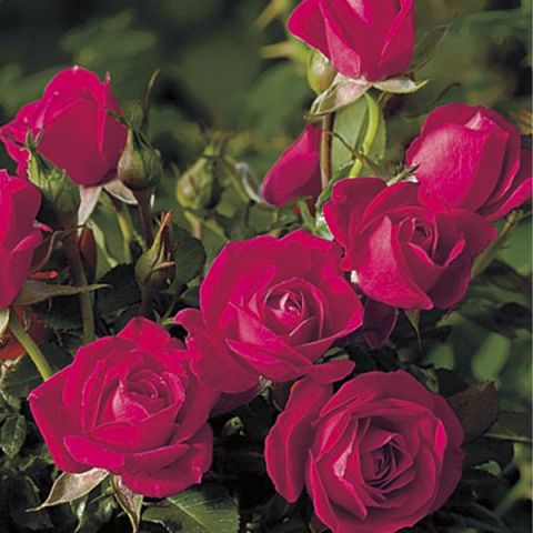 Be My Baby Miniature Rose