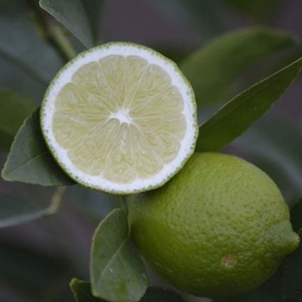 Bearss Lime Tree