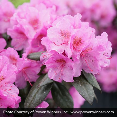 Black Hat® Rhododendron