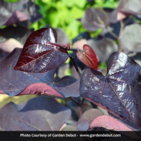 Black Pearl™ Redbud
