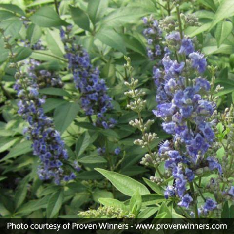 Blue Diddley® Chaste Tree