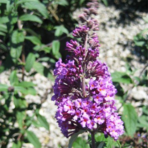 Butterfly Magic™ Butterfly Bush