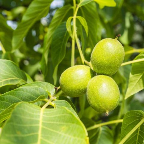 Carpathian English Walnut Tree