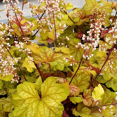 Champagne Coral Bells