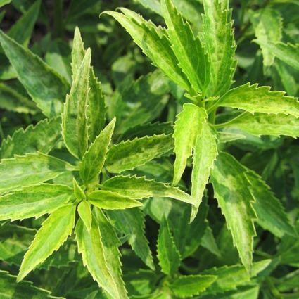 Citrus Swizzle Forsythia