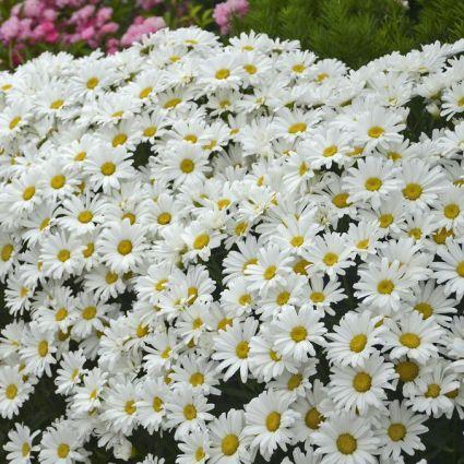Amazing Daisies® Daisy May® Shasta Daisy