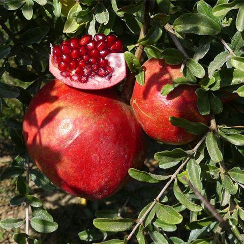 Desertnyi Pomegranate