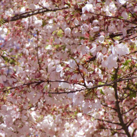 Akebono Flowering Cherry