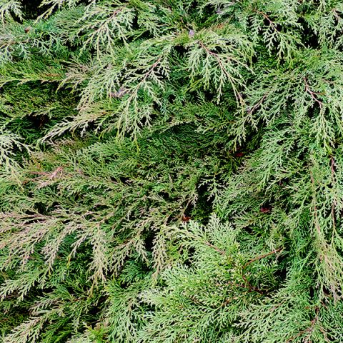 Drew's Blue™ Siberian Carpet Cypress