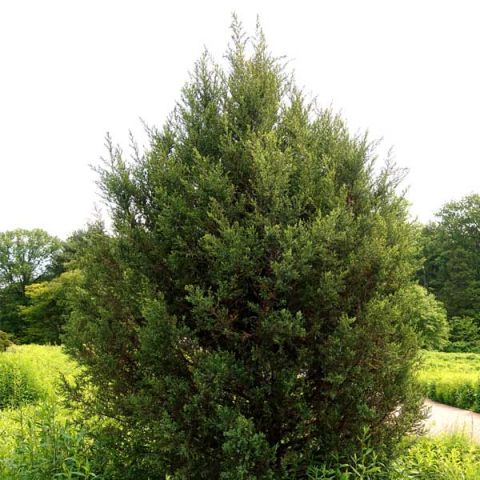 Eastern Red Cedar Tree