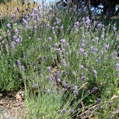 English Munstead Lavender