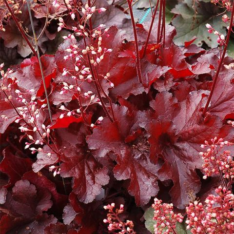 Forever® Red Coral Bells