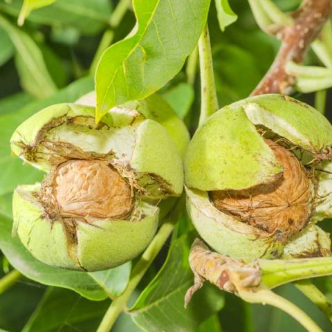 Franquette English Walnut Tree