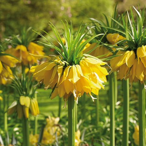 Yellow Crown Imperial