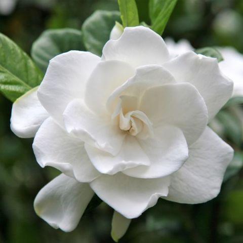 Aimee Gardenia Tree Form