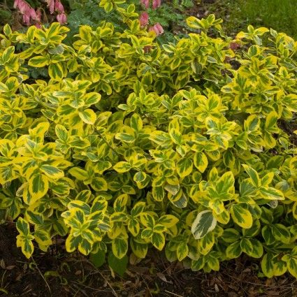 Gold Splash® Euonymus