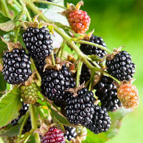 Hall's Beauty Blackberry