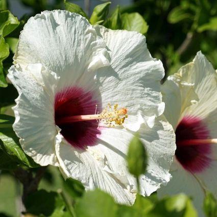 Hibiscus Luna White