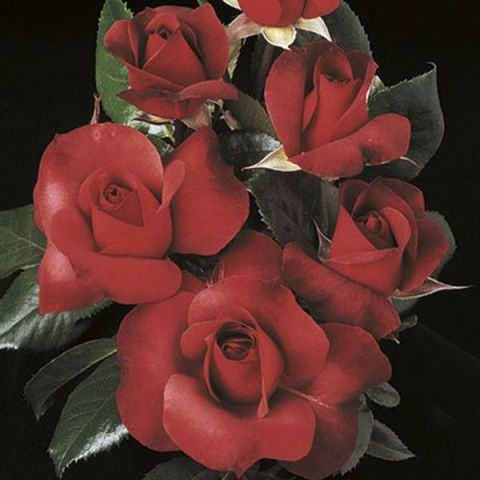 Hot Cocoa™ Tree Rose