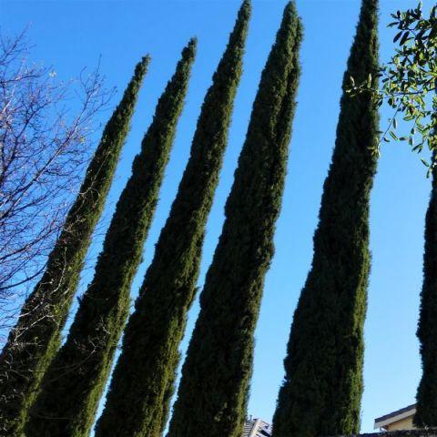 Blue Italian Cypress
