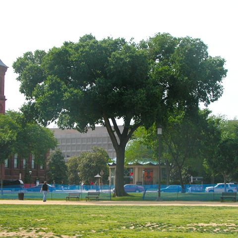 Jefferson American Elm