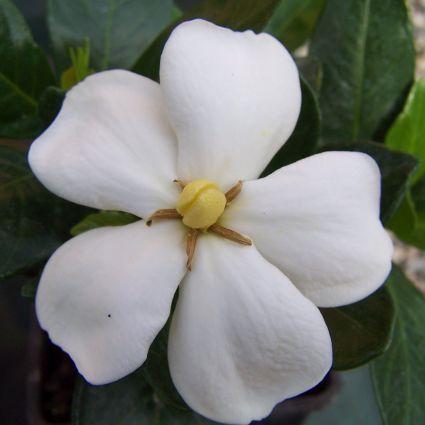 Kleim's Hardy Gardenia