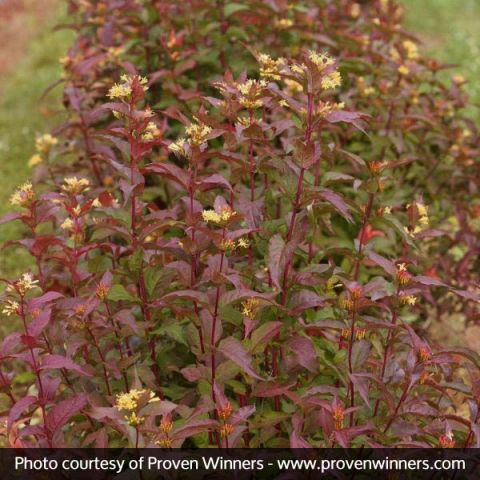 Kodiak® Red Bush Honeysuckle