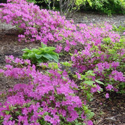Korean Rhododendron