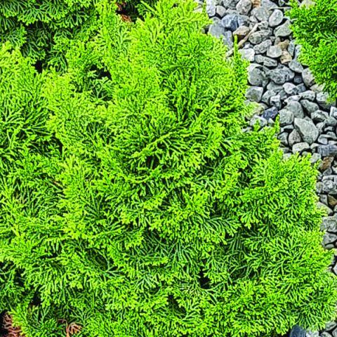 Koster's False Cypress
