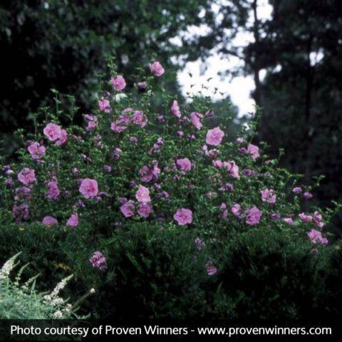 Lavender Chiffon® Rose of Sharon