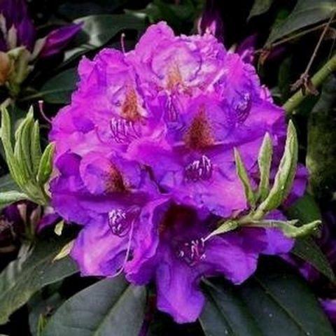 Lee's Dark Purple Rhododendron