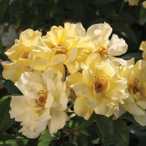 Lemon Drift® Rose