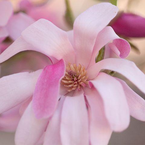 Leonard Messel Magnolia Tree Form