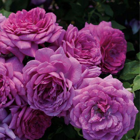 Life's Little Pleasures™ Rose Tree