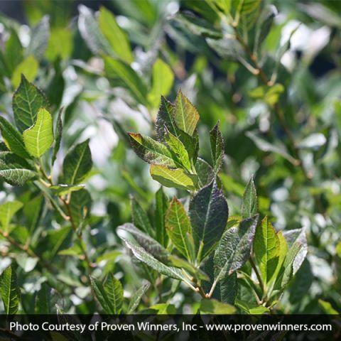 Little Goblin® Guy Winterberry Holly