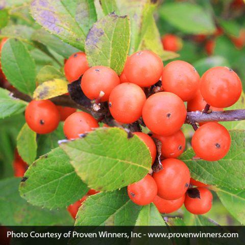 Little Goblin® Orange Winterberry Holly