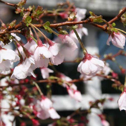 Little Twist® Fuji Cherry Tree
