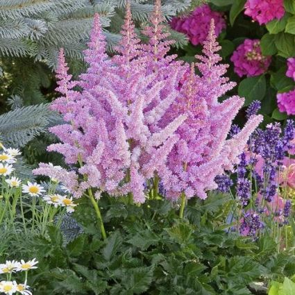 Little Vision in Purple Astilbe
