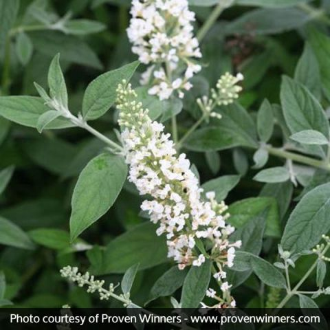 Lo & Behold® Ice Chip Butterfly Bush