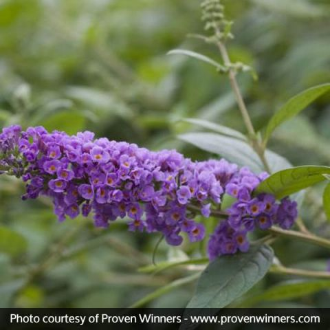 Lo & Behold® Blue Chip Butterfly Bush