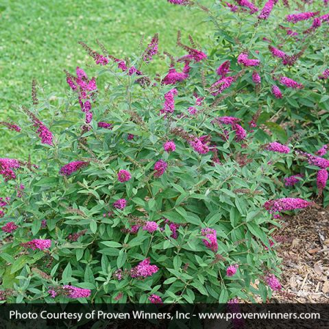Lo & Behold Ruby Chip® Butterfly Bush
