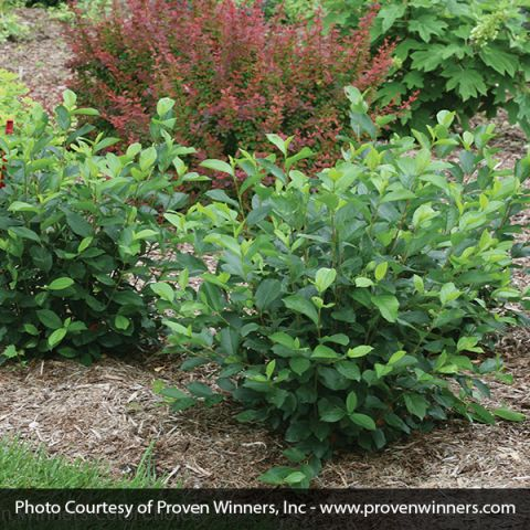 Low Scape Hedger® Chokeberry