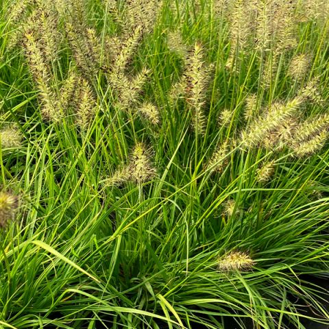 Lumen Gold™ Fountain Grass