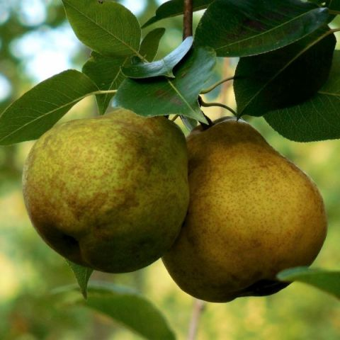 Warren Pear Tree